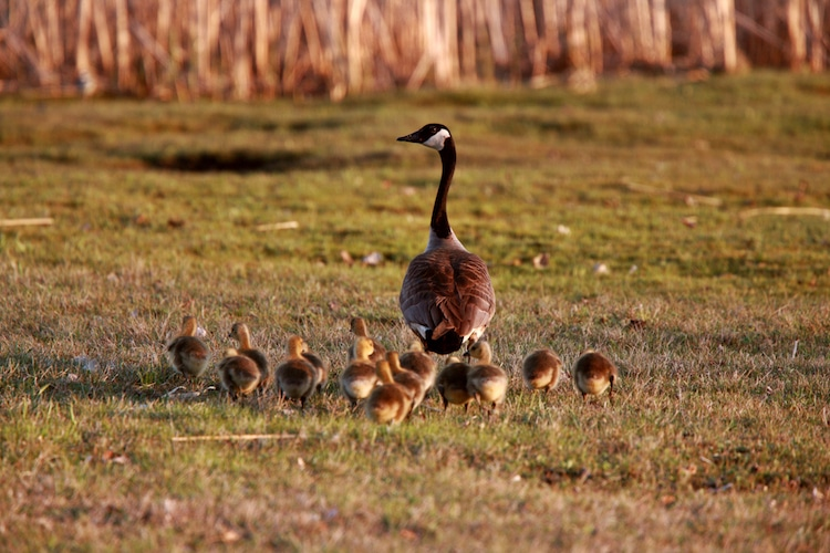 Goslings following Canada Goose parent in Brandon, Manitoba