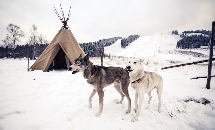 Snow dogs in front of teepee