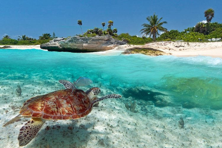 Turtle swimming off the Caribbean coast in Mexico
