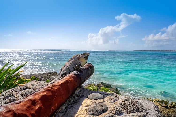 A lizard rests on a fallen log in the Caribbean Sea, Mexico near Playa del Carmen