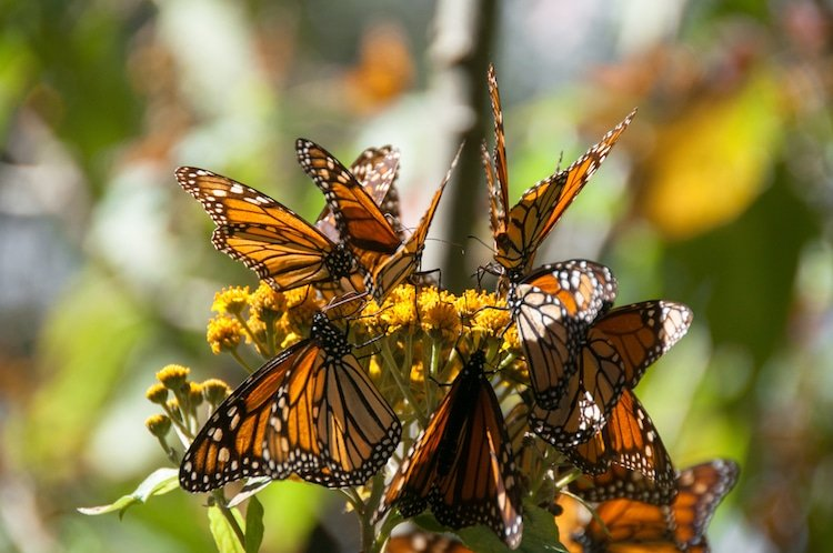 Monarch butterflies at the Sian Ka'an biosphere in Mexico