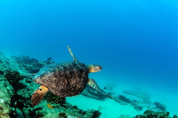 A sea turtle swims in the water of the Riviera Maya in Mexico
